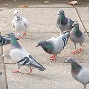 鳩のもつ病原菌の種類とその被害
