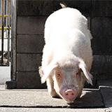 養豚場における防鳥ネット・防護柵設置の義務化