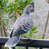 ベランダの鳩を駆除できない理由「鳥獣保護法」について